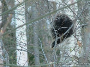a-Porcupine-in-a-tree[1]